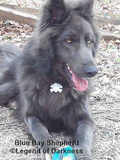 Blue German Shepherd, German Shepherds, Amazing Dogs, Beautiful Dogs, Doggies, Pet Dogs, Pets, Herding Dogs, Photo Blue
