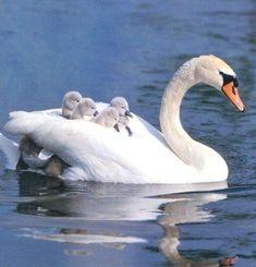 Beautiful Swan, Beautiful Birds, Animals Beautiful, Swan Pictures, Animal Pictures, Beautiful Pictures, Animals And Pets, Baby Animals, Cute Animals