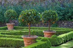 Villa Massei Gardens, Lucca - clipped orange trees in large terracotta planters