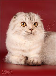 Longhair Scottish Fold Cat