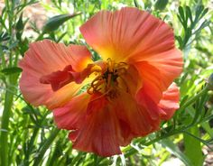 California poppy - 'Apricot Chiffon' Love it! I used  this in my show garden at the S.F. garden show 2010