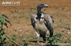 Indian vulture on ground -critically endangered