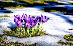 Frühling und Tauwetter, die Krokusblüten haben den Wintereinbruch überlebt und blühen weiter. Bilder und Grußkarten https://www.l-seifert.de/bilder-fruehling/Tauwetter.html #Frühling #Tauwetter Pictures and Greeting cards