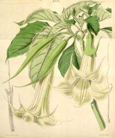Brugmansia_arborea~Datura_cornigera.jpg (904×1080)