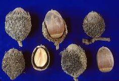 Image result for fagaceae quercus macrocarpa