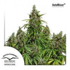 We sell Auto Mazar cannabis seeds from the cannabis seed bank Dutch Passion, available to buy online or at our London shop Cannabis Growing, Cannabis Plant, Cannabis Oil, Weed Plants, Seed Bank, Medical Marijuana, Herbal Medicine, Dutch, Seeds