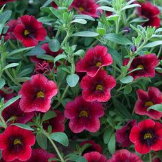 Name: Calibrachoa Superbells 'Pomegranate Punch' Growing conditions: Sun Size: 6-10 inches wide, 12-24 inches wide Plant it with: Euphorbia ...