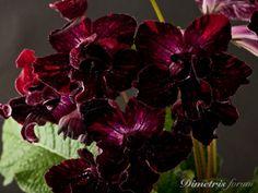 DS-Almadin-DS-Streptocarpus-LEAF