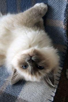Most Popular Long Haired Cat Breeds Ik lig er klaar voor, kom maar op met die kn Ragdoll Cat Breed, Birman Cat, Ragdoll Kittens, Kittens Cutest, Cute Cats, Kitty Cats, Siamese Cats, Crazy Cat Lady, Crazy Cats