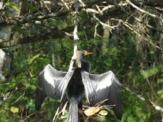 Bird Photos, Birding Sites, Bird Information: MOLTING FEMALE ANHINGA, CORKSCREW SWAMP SANCTUARY,...