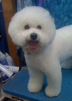 bichon frise haircut example of a show cut should be groomed every 4 4361