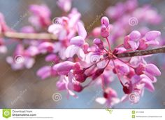 Photo about Closeup of Eastern Redbud flowers in bloom. Image of colorful, judas, colourful - 23115399 Eastern Redbud, Bouquet, Blooming Flowers, Edible Flowers, Close Up, Garden, Plants, Color, Image