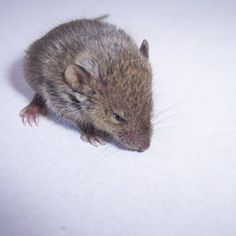 Mice hate the smell of hot sauce made with tabasco peppers.