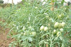 A Day with Ufot Ebong and His Tomatoes By David Augustine   The 18th day of January 2017 was the second day I had the privilege of coming close to him. The first day he had called a section of the media community to react to a news story in one of the Akwa Ibom state based newspapers that alleged that the Udom Emmanuels administration in the state was merely deceiving the people with its advertised recruitment of staff for the Metering factory that was to commence operation in the state…