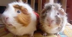 Image result for guinea pig playing golf