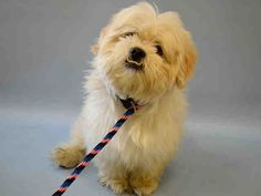 "***RETURNED 9/3/15*** Cute little 4 year old Maltese mix boy Lindo was adopted in August & returned for ""house soil"". How about taking your dog for a walk instead? Unbelievable! So here it is, he is young, adorable and needs some training.. NOT a reason to kill him, is it? To save his life & to give him A CHANCE, apply with rescues without delay. Little Lindo aka DENVER – A1047412 waits for you AGAIN at the Manhattan NYC ACC. ✔Pledge✔Tag✔Share NEEDS ✔Rescue✔Foster✔Adopter NOW!! LINDO aka…"