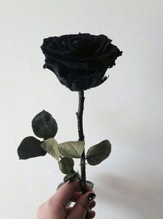 I want to use a single black rose as a prop for my front cover or/and my double page spread