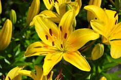 yellow lilies love these for outside