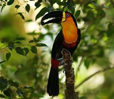 toucan pictures   reluctantly turned and walked away from a pair of toucans. It was ...