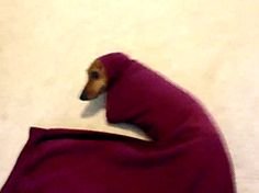 This dachshund who got a little too cozy in a sweatshirt. | The 40 Most Awkward Dogs Of 2013