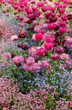 Tulipanes y No me Olvides