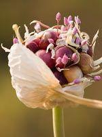 Organic Seed Garlic - Boundary Garlic, BC, Canada