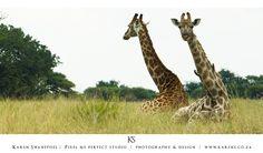 Giraffe lying down Giraffe, Wildlife, Animals, Animales, Felt Giraffe, Animaux, Animal, Giraffes, Animais