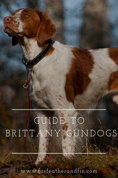 Guide to Brittany Gundogs Where To Go, Brittany, Labrador Retriever, Pets, Animals, Labrador Retrievers, Animais, Animales, Animaux