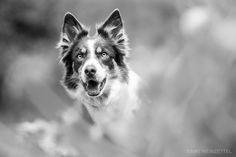 Hypnotised - Border Collie Keshu.  For more photos please visit my Facebook page: https://www.facebook.com/pages/Niki-Weinzettel-Photography/400193820173966?fref=ts