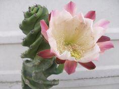 Cactus tirabuzón - cereus forbesii spiralis