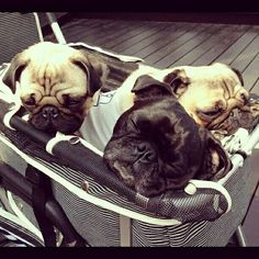 I need both the stroller and the extra pugs, please.