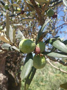 Olive Apple, Fruit, Food, Apple Fruit, Meals, Apples