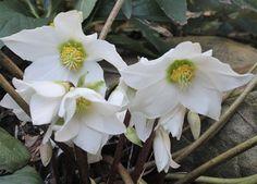Helleborus niger 'Tabby' (Tabby Christmas Rose)