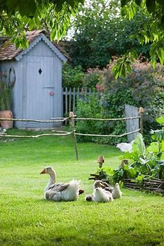 Geese in the potager