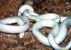 Serpente albino californiano