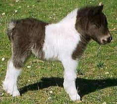 miniature pony...I want one!!! Now I just have to convince Bruce LOL!