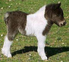 Australian Mini Horse foal