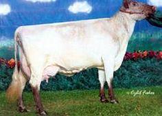Milking Shorthorn Dairy Cows | EX-94 Milking Shorthorns