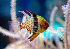 We just got some of these in our saltwater tank. pajama cardinal fish Wir haben gerade einige davon in unserem Salzwassertank. Diy Aquarium, Saltwater Aquarium Fish, Saltwater Tank, Underwater Creatures, Ocean Creatures, Salt Water Fish, Salt And Water, Aquascaping, Fishing World