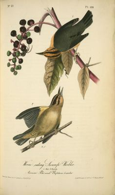 "elevenacres: "" Worm-eating Swamp-Warbler. 1. Male. 2. Female. (American Poke-weed. Phytolacca decandra.) John James Audubon """
