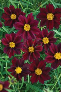 """Mercury Rising Tickseed Plant   This unique wonder is the first hardy, velvet-red Coreopsis. Coloring is a wine-red with no fading. Foliage is thin and airy, which lends to knitting nicely with other perennials in the landscape. Blooms early summer to fall.  Height: 15-18"""" Width: 24-36"""" Zone: 5-9  Exposure  sun  Soil  Average, Dry  Habit  Rounded  Attributes  Naturalizing, Rock Garden, Drought Tolerant  Wildlife Attracted  Butterflies, Pollinators  Additional Features  Deer resistant, Summer…"""