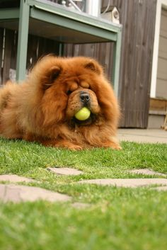 Chow Chow playing with a ball Perros Chow Chow, Chow Chow Dogs, Cute Puppies, Cute Dogs, Dogs And Puppies, Lion Dog, Dog Cat, Shih Tzu Hund, Animals And Pets