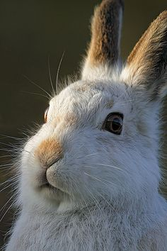 Mountain Hare portrait by Chris Sharratt