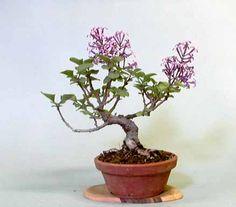 Lilac photo Lilac.jpg
