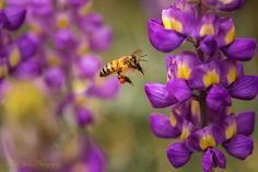 Beauty of Macro, Fine Art Photography, MacroMay 4, 2015 Bee Lovely By Kim Peterson