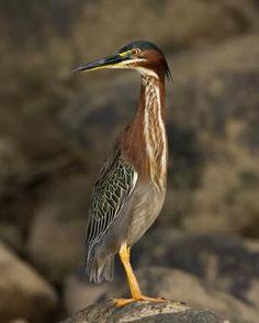 Green heron by Peter Stahl