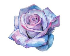 blue and pink watercolor rose