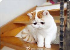 This kitten looks so huggable!  My guess is it's an exotic shorthair.