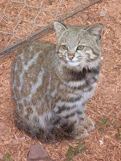 Andean Mountain Cat   ~SacredValleyAnimalSanctuary033 | by malaontour