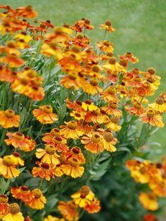 Helen's flower. This fall-blooming daisy comes in a multitude of autumnal colors, including warm golds, reds, and oranges. An easy-to-grow perennial, it's great for a shot of color at the end of the season. One top-notch selection we love is multicolored 'Mardi Gras'.  Name: Helenium autumnale  Growing Conditions: Full sun and moist, well-drained soil  Size: To 4 feet tall